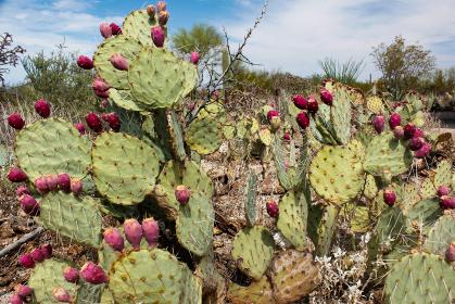 アメリカ・アリゾナ州のサワロ国立公園にて赤い実が多くついた巨大なウチワサボテン