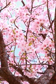 河津桜 7 縦位置