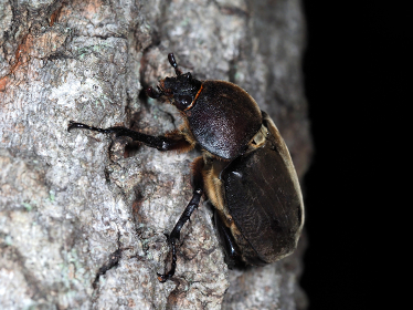 夜間のカブトムシのメス 昆虫 虫 甲虫 夜行性 成虫 生物 夏休み むし オス かぶとむし