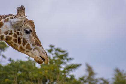 仙台の八木山動物園のキリン