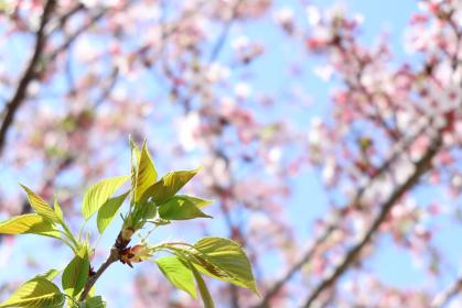 青空と桜の花と葉桜 1