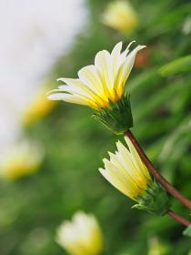 白い花ガザニア