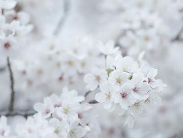 薄曇りの日の淡い桜の花 3月