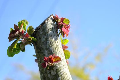 切り口から伸びる芽