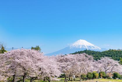 静岡県富士市岩本山公園の桜