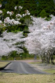 桜並木が咲く道