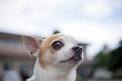 チワワ(ペット・小型犬・見つめる)