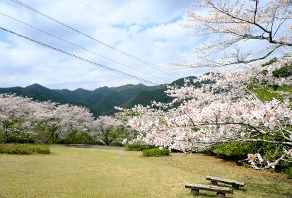鶴田ダム公園の満開の桜が咲く風景