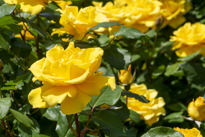 色鮮やかなバラの花 ヘンリーフォンダ