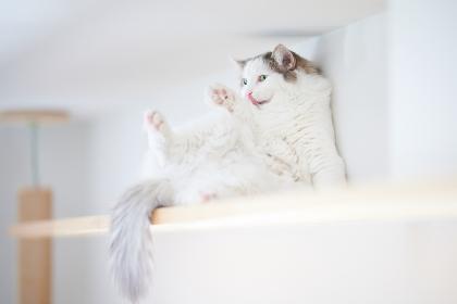 棚の上で面白いポーズをしている猫