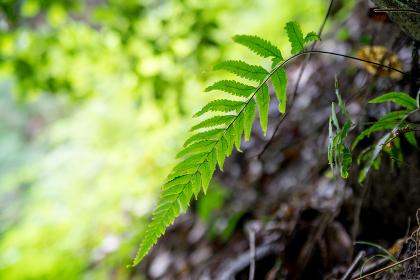 シダの植物