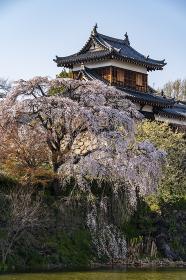 大和郡山城追手門東隅櫓 枝垂れ桜