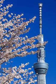 青空に映える東京スカイツリーと桜