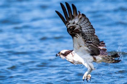 豪快に魚を捕食する猛禽類のミサゴ