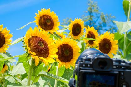 カメラでひまわりを撮影する様子 趣味