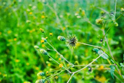 緑の草むらに生えたセンダングサの痩果