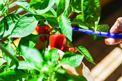 マンションのバルコニーの家庭菜園で赤ピーマン(パプリカ)を収穫する【夏のイメージ】