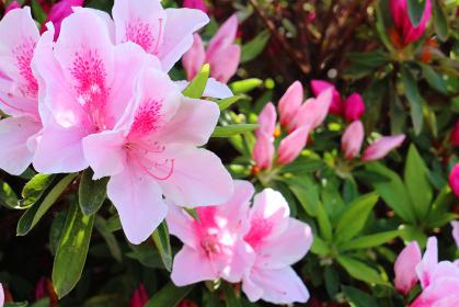 ツツジの花 6 ピンク
