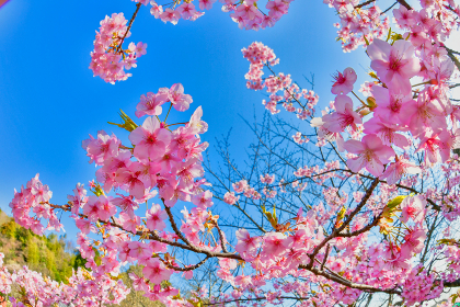 早春の青空と美しい桜 福岡県 北九州市