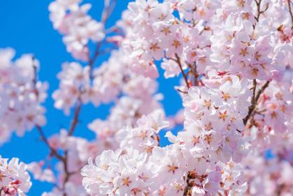 桜 ソメイヨシノ 満開 アップ コピースペース