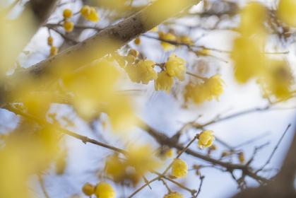 蝋梅の黄色い花 ロウバイ