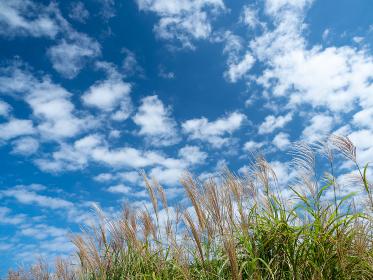 秋晴れの青空と西伊豆の高原の緑のススキ 9月