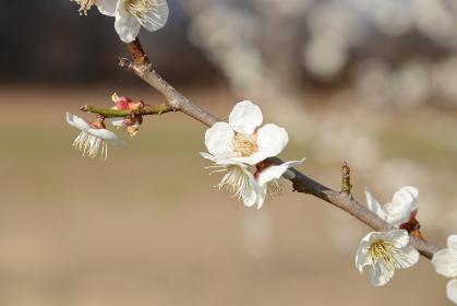 満開の白梅の枝をクローズアップした風景