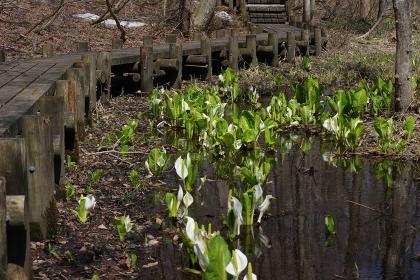 見頃を迎えた荒沢湿原(宮城県)の水芭蕉