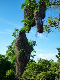 ボリビア・ルレナバケにてアマゾンジャングルツアー用ボートから見た複数の鳥の巣