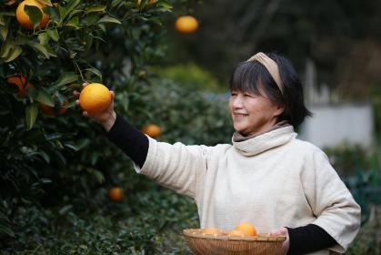 みかんを収穫するシニア女性
