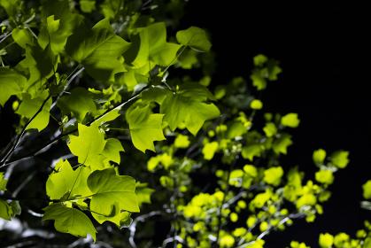 ライトアップされている緑色のもみじの背景画像