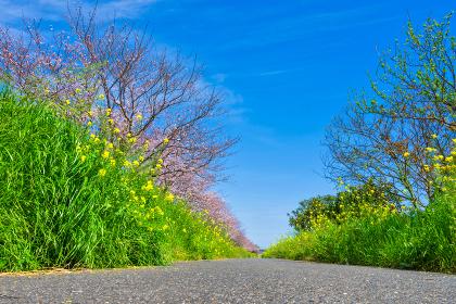 春の爽やかな青空と黄色の菜の花と桜