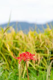 彼岸花と稲穂と山