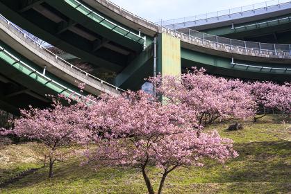 河津七滝ループ橋と河津桜