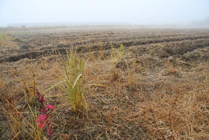 収穫が済んだ晩秋の畑、霧の早朝