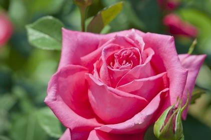 国際バラ新品種入賞花2008