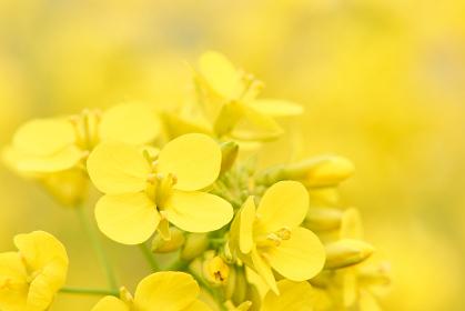 菜の花の花びらアップ