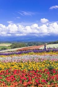 北海道 丘の町美瑛のお花畑