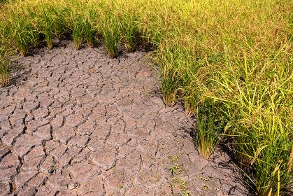 稲刈り直前の田んぼ、8月・千葉、日本
