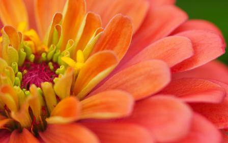 ヒャクニチソウの花びらアップ