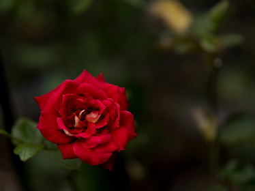 秋の赤いバラ