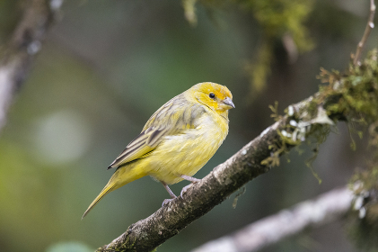 Beautiful yellow bird in Atlantic Rainforest vegetation , Penedo, RJ, Brazil
