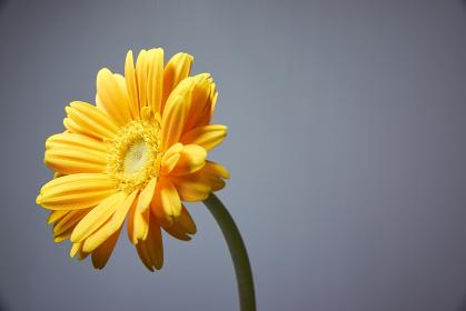 一輪の黄色いガーベラの花 グレーバック