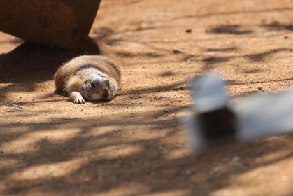 地面に寝そべるプレーリードッグ