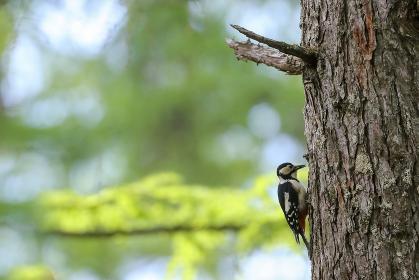 落葉松の幹のとまるアカゲラ
