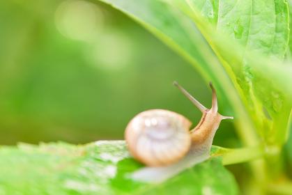 葉の陰に隠れているカタツムリ