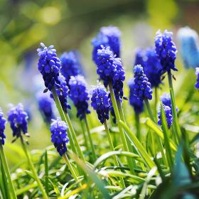 球根植物青色の花ムスカリ