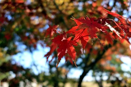 赤く色づいたカエデの木 1