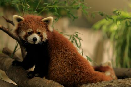 澄まし顔をして座るレッサーパンダ