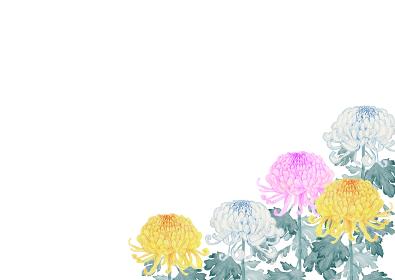 菊 花 背景 フレーム 水彩 イラスト